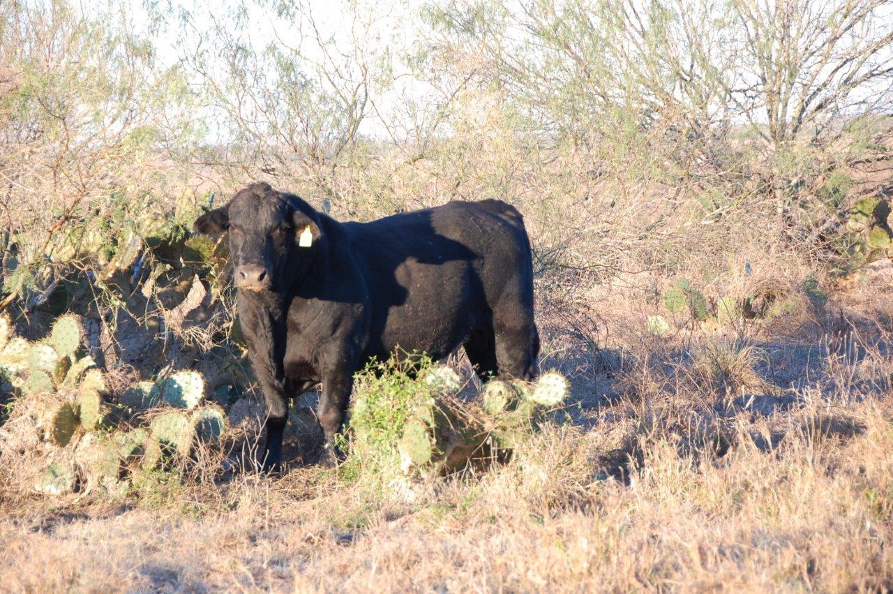 Brangus-and-Angus-bulls-003_1950