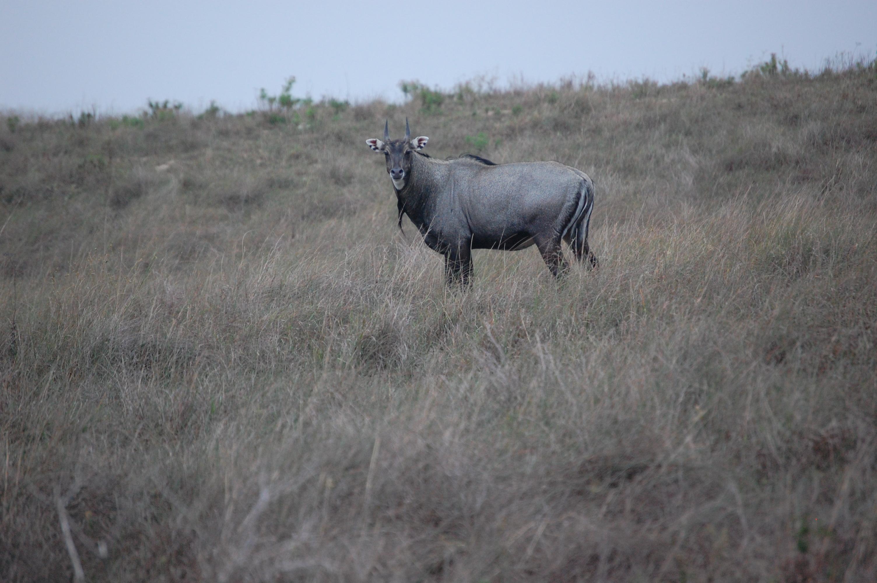 Nilgai-Bull-003