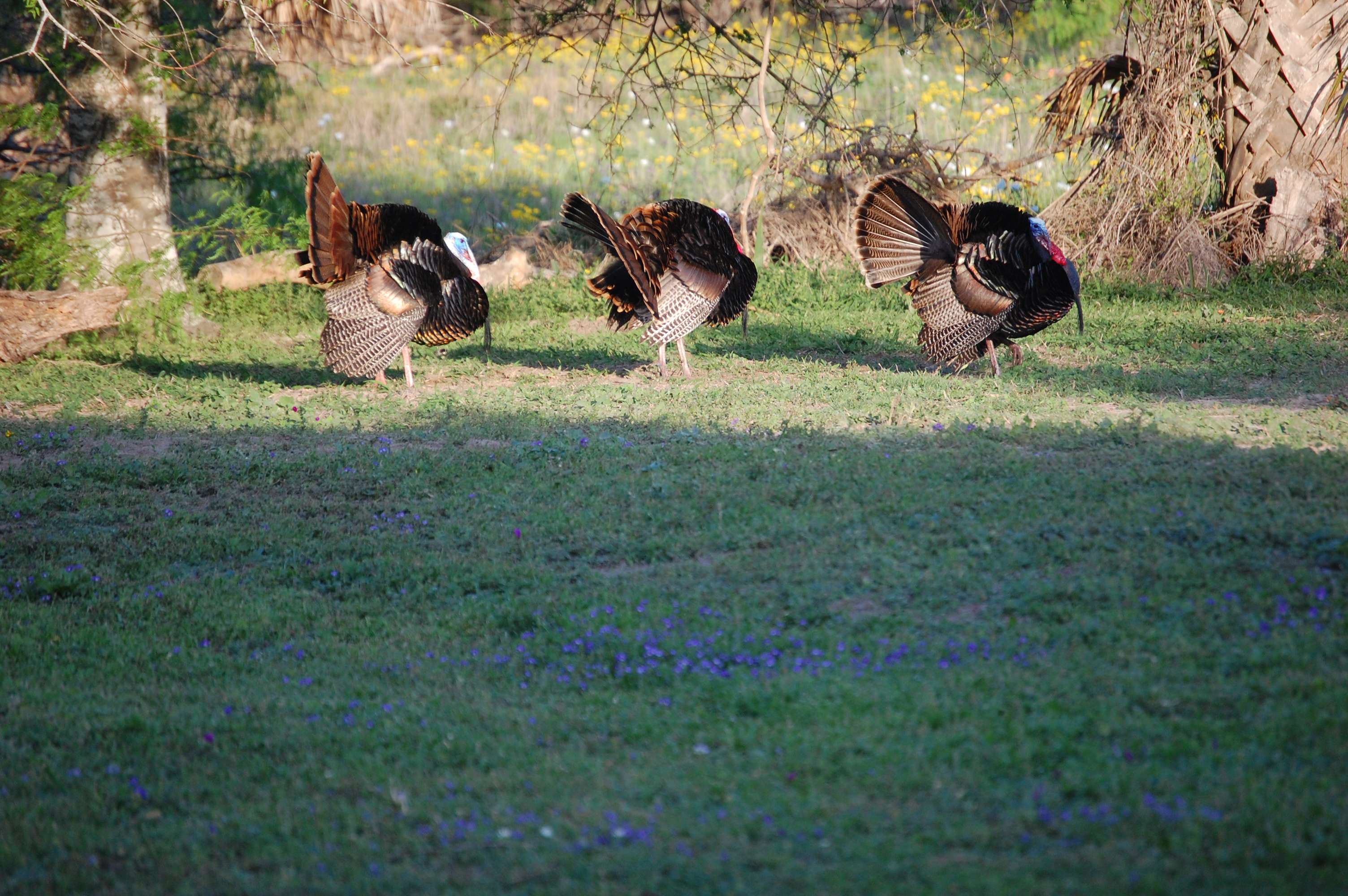 Wild-Turkeys-Axis-Deer-La-Parra-001
